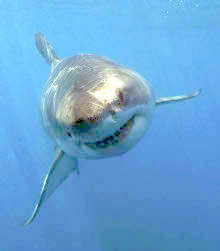 Great White Shark, False Bay