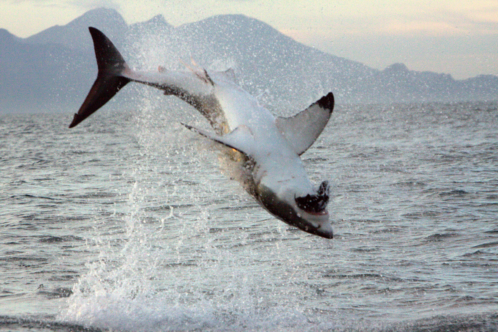 Flying Great White Shark of False Bay