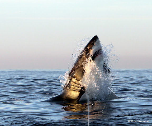 The magnificent Great White Shark