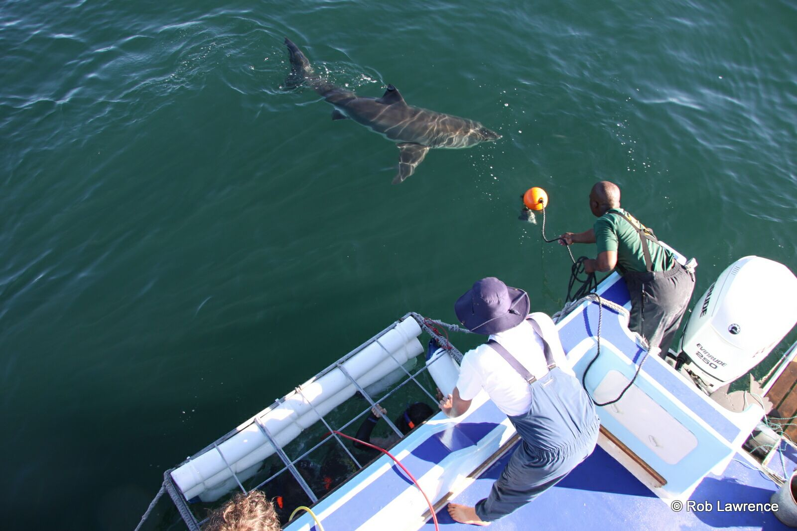 Great White Shark approaching the guests in the cage