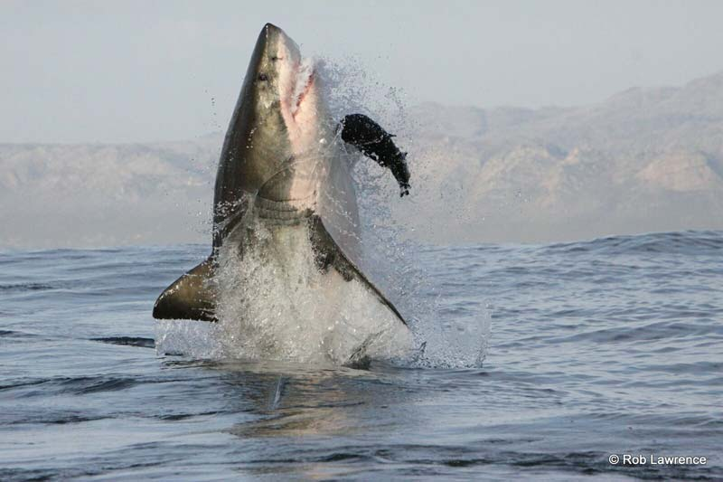 Great White Shark displaying the unique ability of breaching out of the water