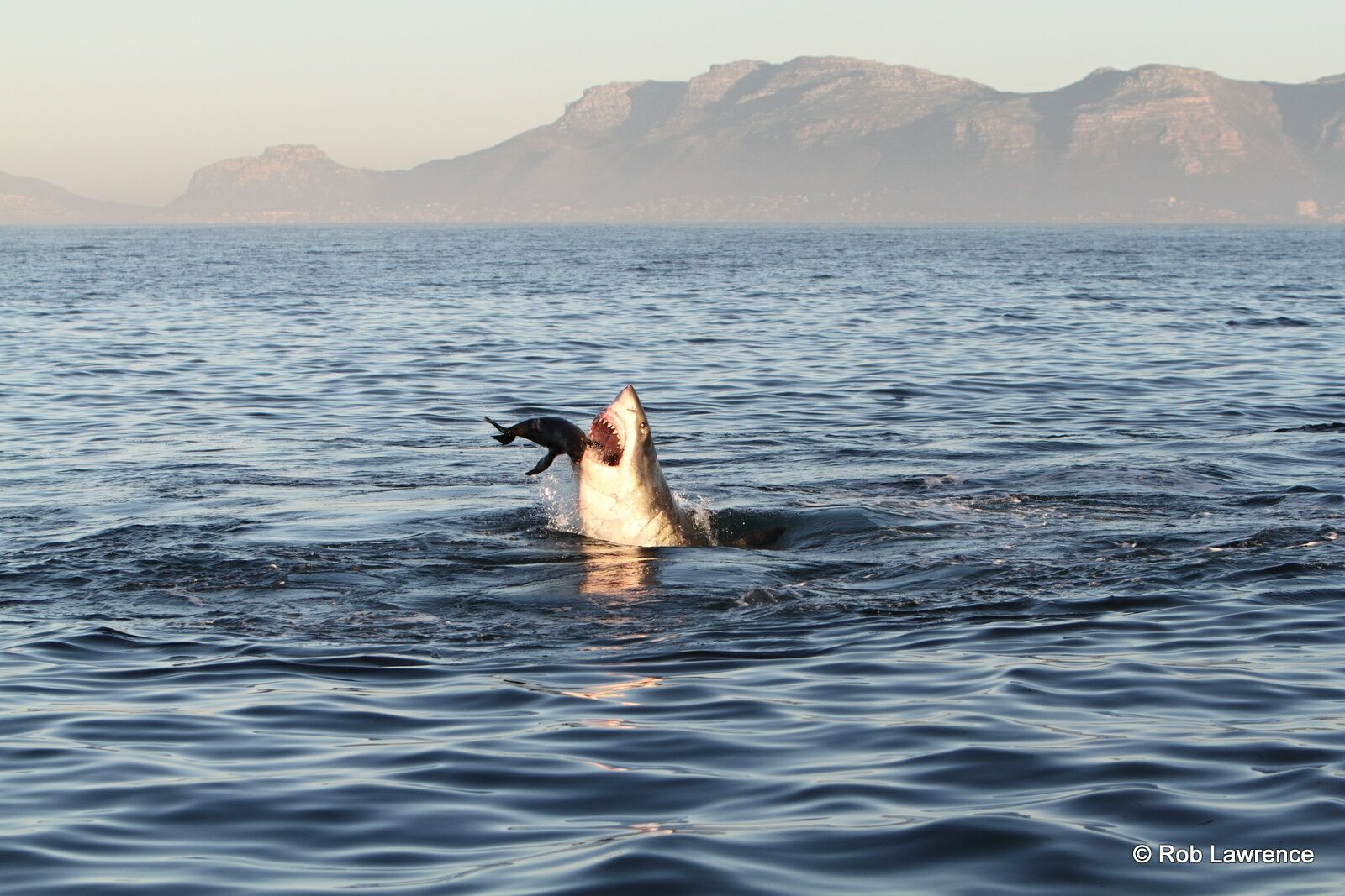 Great Whites will often target lone Cape Fur Seals during predatory events.