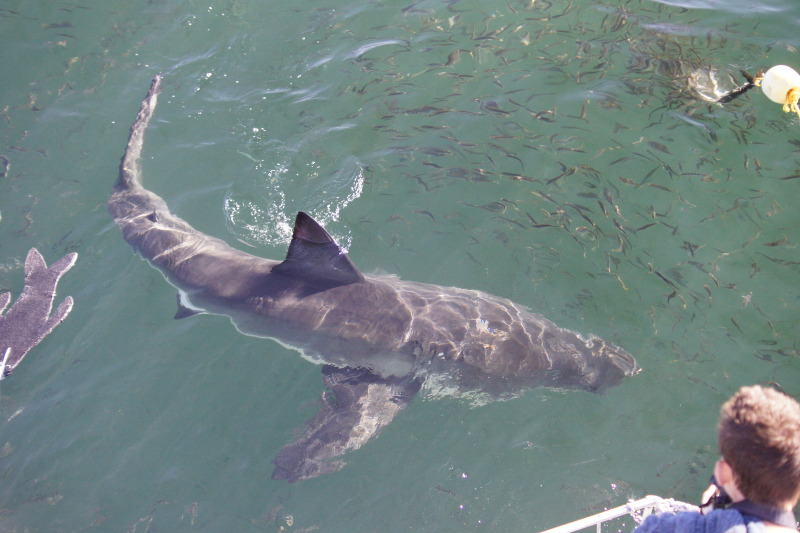 Great White Shark up close to our boat, Blue Pointer II. © RJ Petrie