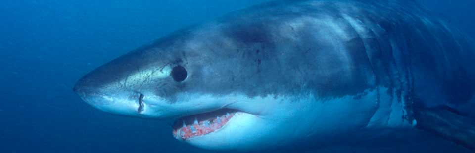 Shark Cage Diving with African Shark Eco-Charters