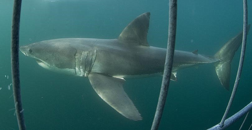 Great White Shark Cage Diving, False Bay, Cape Town