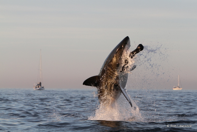 """Flying"" Great Whites of False Bay"