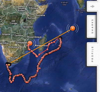 Tagged Great White Shark pings in off the Maldives