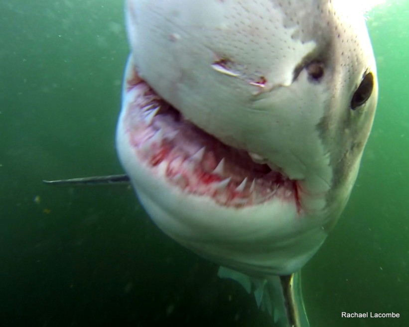 shark cage diving with GoPro