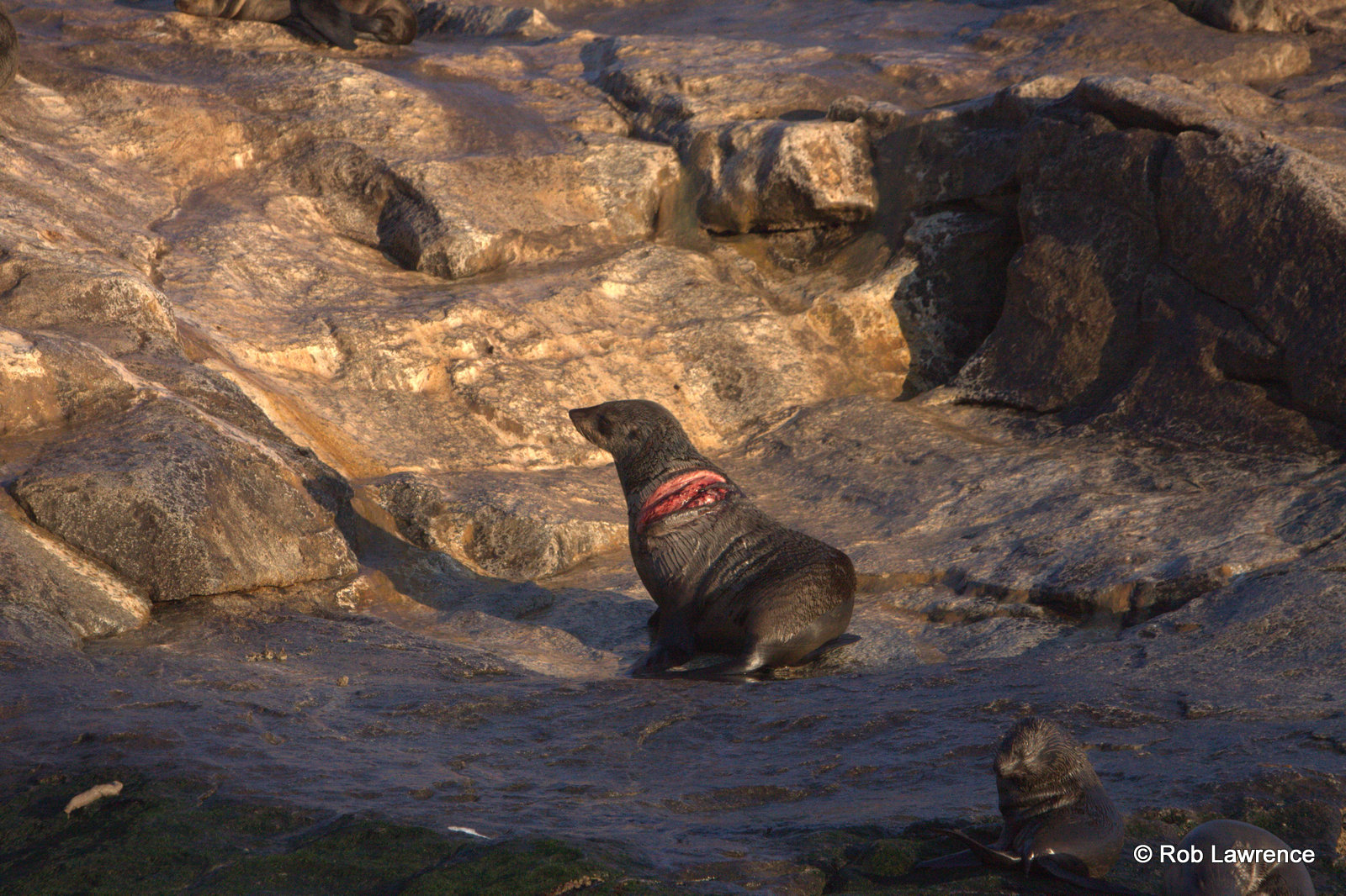 Lucky Cape Fur Seal escapes Great White Shark attack with effective anti-predatory strategies