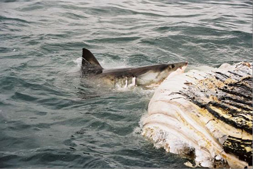 Great White Sharks are opportunistic scavengers and will often feed on whale carcasses. Photos by Matt Dicken