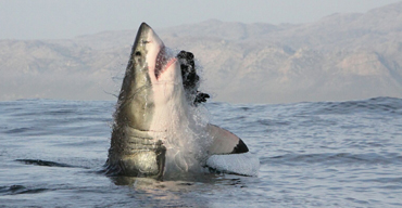 ASEC HOME shark breaching tours