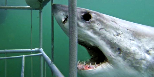 ASEC TOURS Afternoon Shark Cage Diving Trip