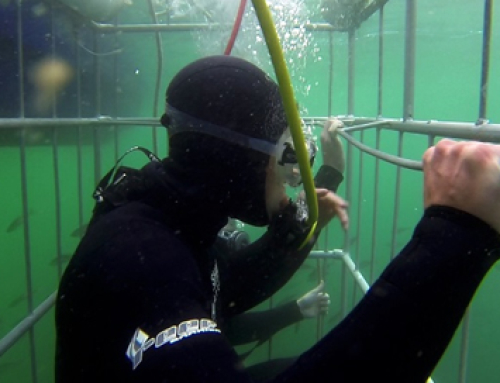 Shark Cage Diving in Simonstown