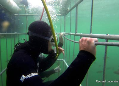 shark cage diving Simonstown
