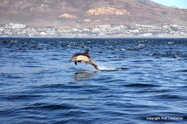common dolphins False Bay