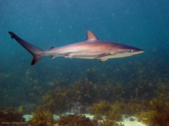 dusky-shark-open-water1