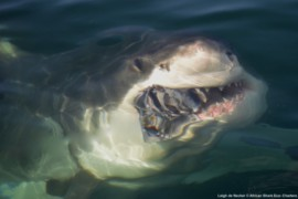 African Shark Eco-Charters Great white shark