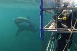 Shark diving with ASEC
